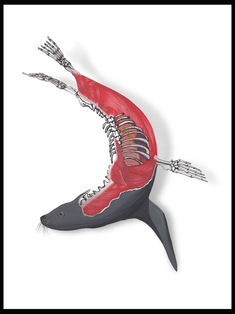 Sea Lion Anatomy – Jess Marie Soriano